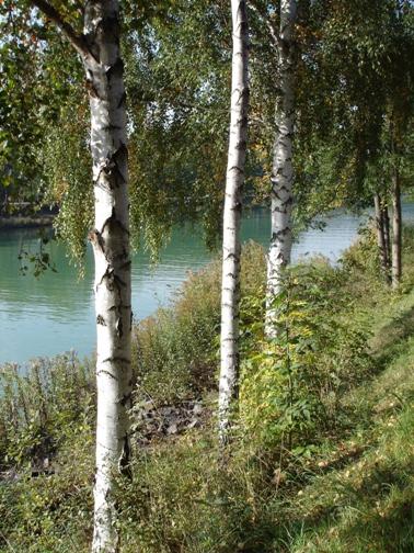 Birken am Kanal